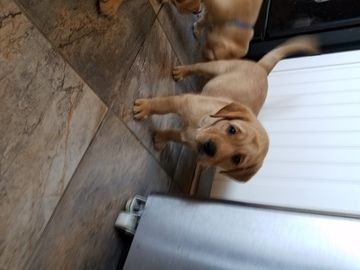 Litter Of 6 Labrador Retriever Puppies For Sale In Riverside Ca