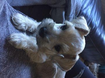Schnauzer Miniature Puppy For Sale In Austin Tx Adn 66540 On