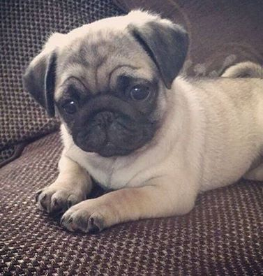 Pin By Dog Paws Cat Claws On Pugs And Luvs Cute Puppies Cute