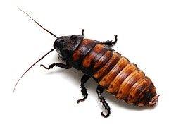Cockroaches Canada Ca