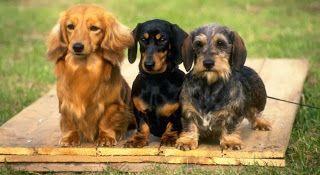 Three Types Of Dachshunds Dachshund Colors Dachshund Dog Wire
