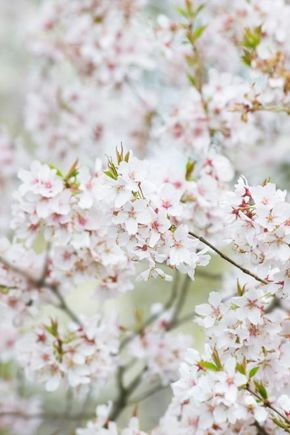 27 Flowering Trees For Year Round Color Hgtv Flowering Trees Ornamental Cherry Trees To Plant