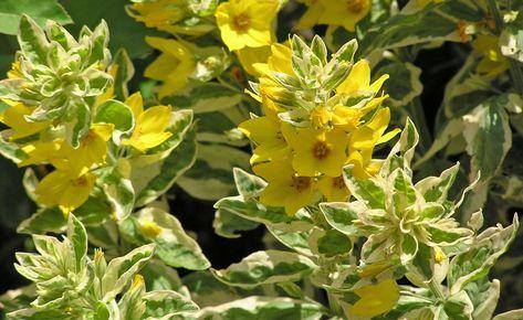 Goldfelberich Wildstaude Mit Dekorativen Bluten Pflanzen Graser Im Garten Bepflanzung
