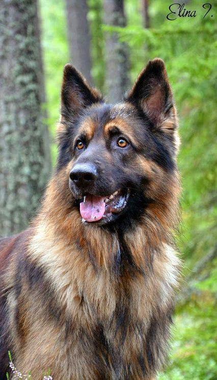 Beautiful German Shepherd Germanshepherd Dograzas Schaferhunde