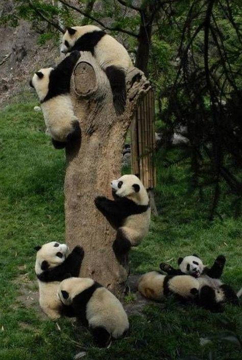 Pandasplosion of cute!