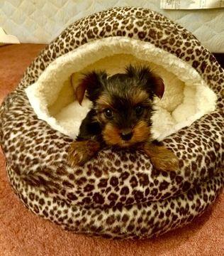 Yorkshire Terrier Puppy For Sale In San Antonio Tx Adn 70050 On Puppyfinder Com Ge Yorkshire Terrier Puppies Yorkshire Terrier Yorkshire Terrier Puppy Yorkie