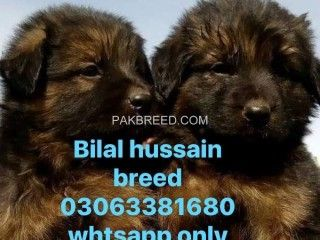 Pakbreed Buy Sell Pets Animals Accessories For Free In Buy Pets Terrier Dogs Pet Accessories