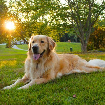 The Versatile Golden Retriever Dogs Golden Retriever Golden
