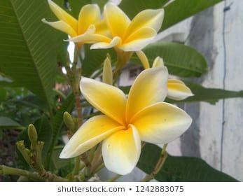 Bunga Kamboja Bermekaran Di Pekarangan Rumah Flowers Frangipani Bloom
