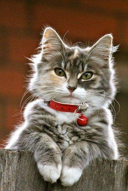Love This Cat Photo With The Red Collar And White Paws What A