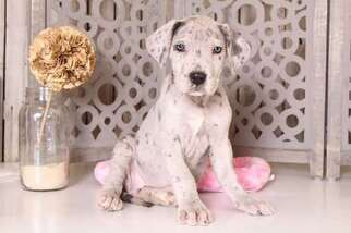 View Ad Great Dane Litter Of Puppies For Sale Near California