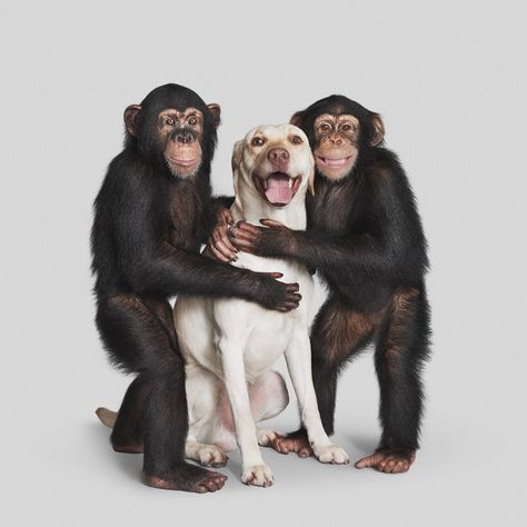 110 ideas de Chimpancé   chimpance, gorilas, animales