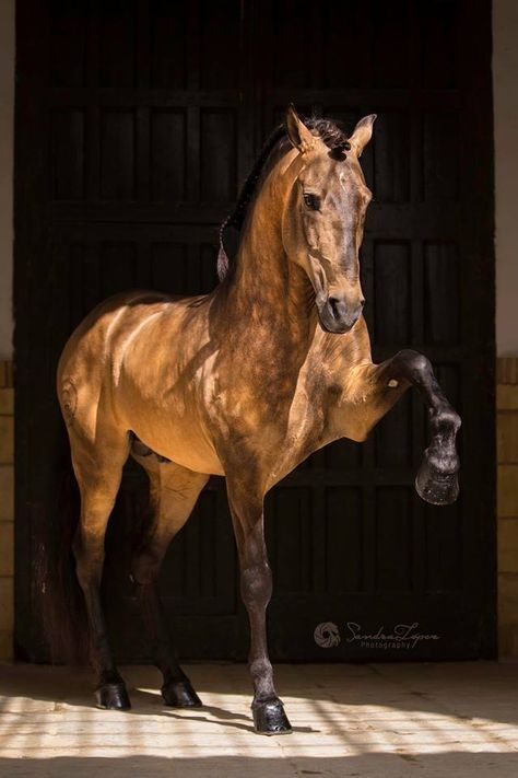 PSL Stallion FUEGO FG owned & trained byClémence Faivre Official © Sandra López Sandra López - Photography Cute Horses, Pretty Horses, Horse Love, Horse Photos, Horse Pictures, Most Beautiful Horses, Animals Beautiful, Simply Beautiful, Andalusian Horse