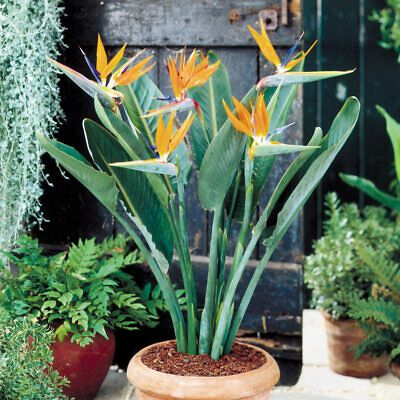 Bird Of Paradise Flower Seeds Strelitzia Reginae 9 Seeds Evergreen All Orange In 2020 Birds Of Paradise Plant Paradise Plant Conservatory Plants