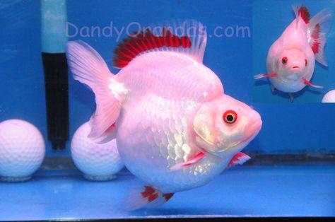 White Red Short Tailed Ryukin From Dandy Orandas Buy It Now For 429 Price Lowered To 349 Ryukin Goldfish Goldfish Fish Pet
