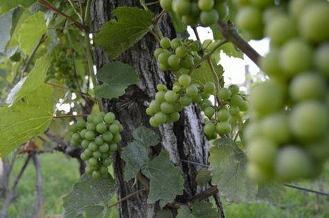Cascade's Crimson Sunset Takes the Organic Route | Edible Feast via Edible Iowa River Valley