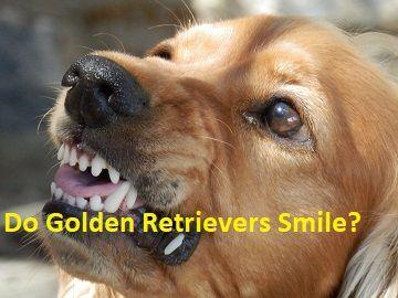 Do Golden Retrievers Smile Understanding The Golden Retriever Smile Just For Your Dog Golden Retriever Smile Golden Retriever Dogs