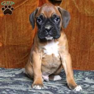 Boxer Puppies For Sale Boxer Puppies For Sale Boxer Puppies
