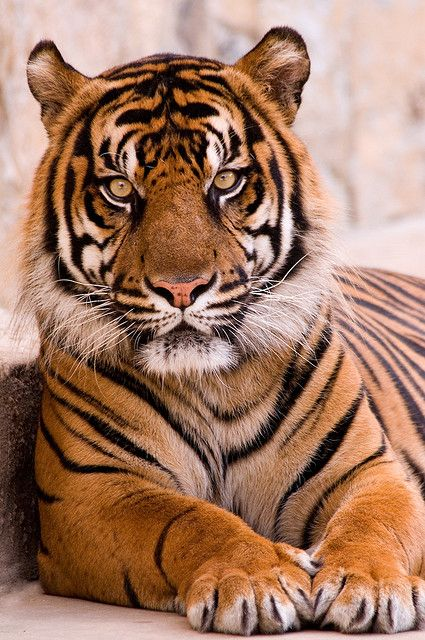 tiger in sa 3 0 f lr 8 9 08 - The world's most private search engine Siberian Tiger, Bengal Tiger, Bengal Cats, Siamese Cats, Image Tigre, Beautiful Cats, Animals Beautiful, Big Cats, Cats And Kittens