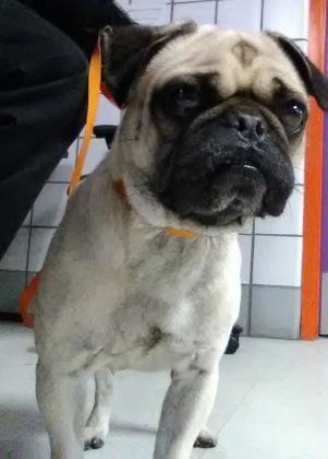 Animal Id 37872452 Species Dog Breed Pug Mix Age 2 Years Gender