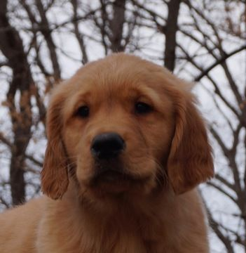 Golden Retriever Puppy For Sale In Warsaw In Adn 69613 On