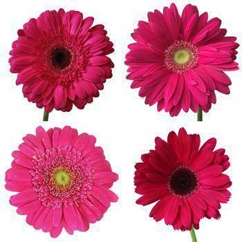 Dark Pink Gerbera Daisy Pink Gerbera Gerbera Daisy Daisy Wedding Flowers