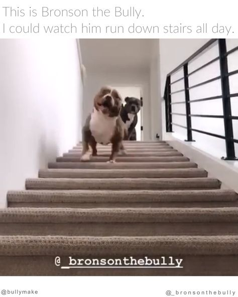 The waddle. The wiggle. It's too much to handle.  via: @_bronsonthebully⠀ .⠀ Follow @bullymake for more adorable bullies!⠀⠀ .⠀ #pitbullsofinstagram #dontbullymybreed #bully #dog  #dogsofinstagram #pitbulls #puppy #pit #bullybreed  #pitbull #pitstagram #doglovers #staffy #americanbully #staffordshireterrier #pibble #pittie #pittienation
