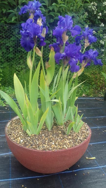 Learn How To Plant And Care For Bearded Irises Growing Irises Iris Flowers Garden Iris Flowers