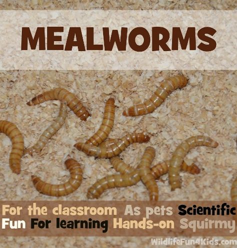 Looking for a Low-Maintenance Pet for Home or Classroom? Check out Mealworms! from Wildlife Fun 4 Kids #SuliaMoms #education