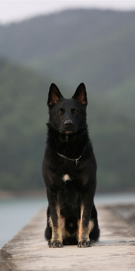 German Shepherd dogs have a wolf-like appearance. They look giant and muscular. The strength level in this breed is mind-blowing. Black German Shepherd Puppies, Black German Shepherd Dog, German Shepard Husky Mix, Baby German Shepherds, Dutch Shepherd Dog, German Shepherd Breeds, German Dogs, American Staffordshire Terrier, Cute Dogs And Puppies