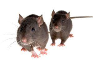 ايات لطرد الفئران من المنزل Animals Rats Termite Control
