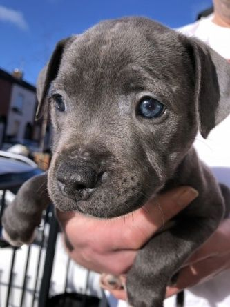 2 Beautiful Staffordshire Bull Terrier For Sale Bull Terrier For Sale Staffordshire Bull Terrier Puppies Staffordshire Bull Terrier