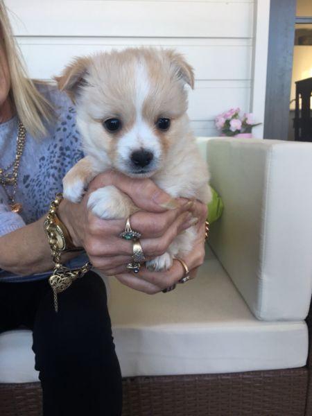 Maltese Chihuahua Puppies Chihuahua Puppies Puppies Chihuahua