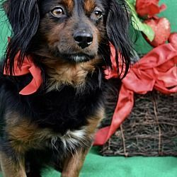 Irvine California Dachshund Meet Sawyer A For Adoption