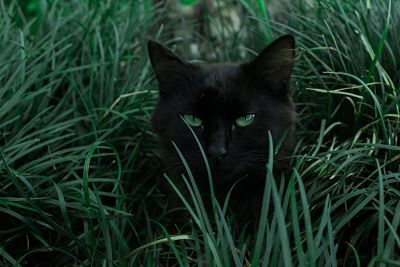 American Bobtail Black Cat Breeds With Green Eyes Black Cat Breeds Black Cat Pictures Cats