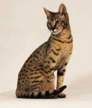 Baka Kucing Paling Mahal Di Dunia Oriental Shorthair Ashera Cat Domestic Cat