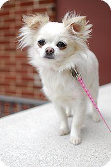 Adopt Elsa Adopted On Petfinder Cute Chihuahua Chihuahua Puppies Baby Chihuahua