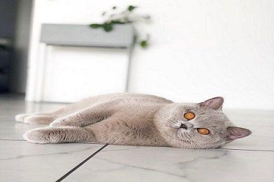Available British Shorthair Kittens For Sale British Shorthair Kittens For Sale Buy Now Homep In 2020 Kitten For Sale British Shorthair British Shorthair Kittens