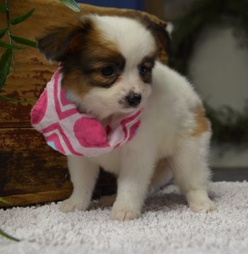 Papillon Puppy For Sale In Tucson Az Adn 71542 On Puppyfinder