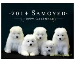 Samoyed Puppies For Sale In Bangalore On Best Price Asiapets