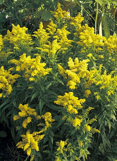 The Best Goldenrods For Your Garden Butterfly Garden Plants Garden Pictures Goldenrod Flower