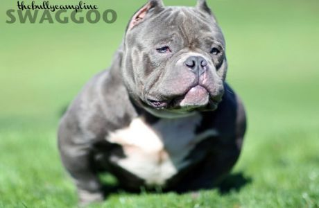 American Bully Gallery Bully Breeds Dogs American Bully Bully Dog