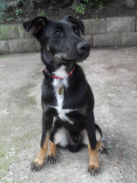 Gsd X Pharaoh Hound In Care Of German Shepherd Dog Rescue This