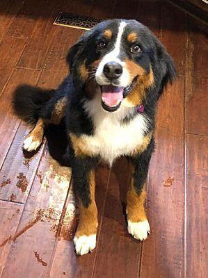 10 14 8 Minneapolis Mn Bernese Mountain Dog Meet Mira Foster Needed 10 20 A Dog For Adoption Dog Adoption Bernese Mountain Dog Dogs