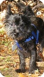 Whitesboro Ny Cairn Terrier Meet Jaxton In Vt A Dog For