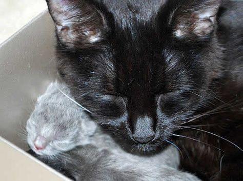A Serene Moment Between Mom And Newborn Kitten Adoption Cat Nap Kitten