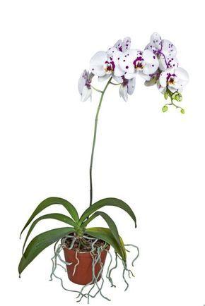 Piante Da Appartamento Orchidea.Orchidea Varieta Cura Terreno Temperatura E Luce Orchidee Da
