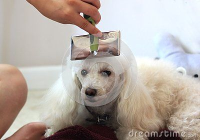 Person Brushing A White Toy Poodle Dog S Hair With A Slicker Brush