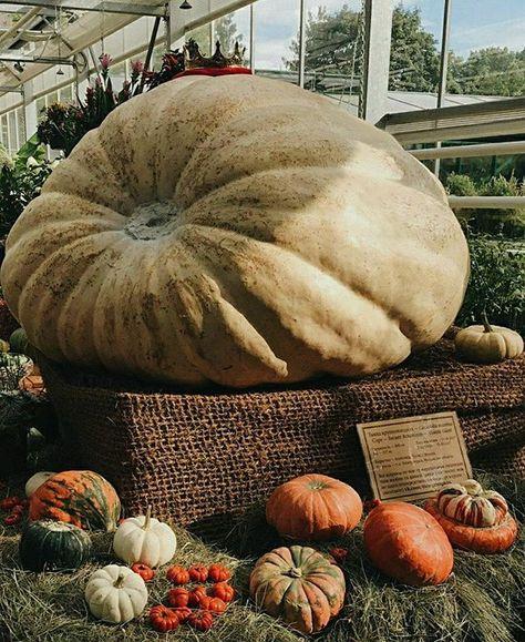 autumncolors #pumpkinking #plants #pumpkin...