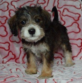 Schnoodle Puppies For Sale In Pa Schnoodle Puppy Adoptions Schnoodle Puppies For Sale Schnoodle Puppy Schnoodle